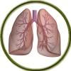 Дыхательная система (0)